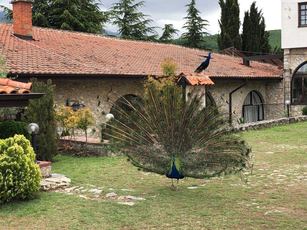 Sveti Naum'daki Tavuskuşları - Ohrid